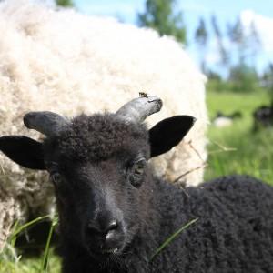 lammaskuva